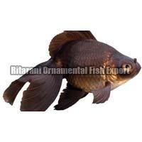 Live Black Gold Fish