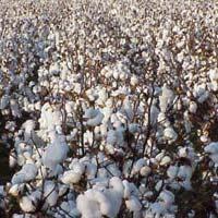 pure cotton seeds