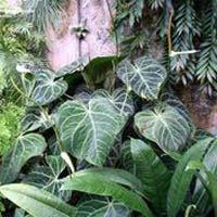 Anthurium Clarinervium Indoor Plants