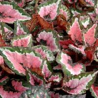 Begonia Rex Indoor Plants