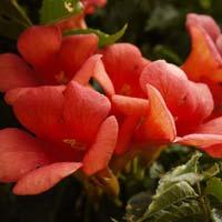 Fresh Trumpet  Flower