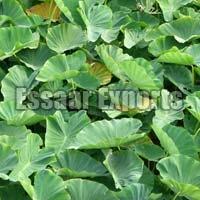 Fresh Colocasia