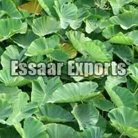 Fresh Colocasia