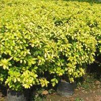 Ficus Reginald Plant