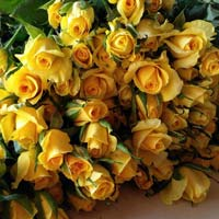 Gold Strike Yellow Rose