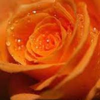 Tropical Orange Rose