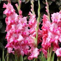 Fresh Gladiolus Cut Flower