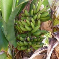 Fresh Dwarf Cavendish Banana
