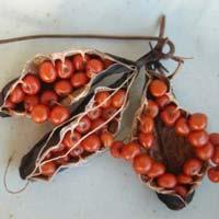 Gloriosa Superba Seeds