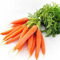Carrot Seed - Daucus Carota