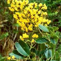Malabar Kino - Pterocarpus Marsupium