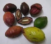 Indian Almond - Terminalia Catappa