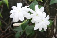 JASMINE - Jasminum officinale