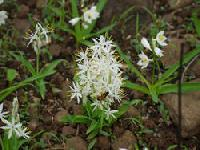 Safed Musli - Chlorophytum Borivilianum.
