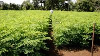 Drumstick Seeds For Fodder Cultivation