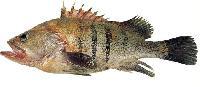 Fresh Grouper Fish