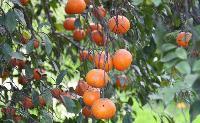 Fresh Kinnow Oranges