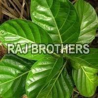 Morinda Leaf