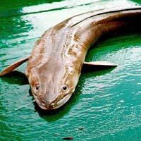 Eel Sea Fish