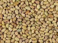 Alfalfa Plant Seed