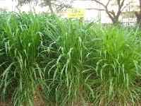 Co4 Hybrid Napier Grass Seeds