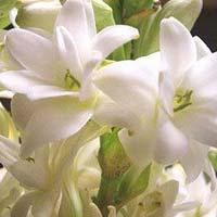 Tuberose Flowers