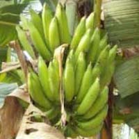 Nenthra  Banana
