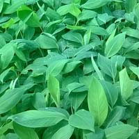 tissue cultured banana plants