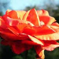 Fresh Orange Rose Flower