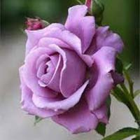 Fresh Violet Rose Flower