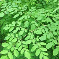 Fresh Moringa Leaves