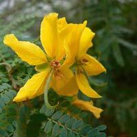 Tanner's Cassia Flower
