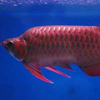 Thai aquarium fish aquarium fish manufacturers and for Red arowana fish for sale in usa