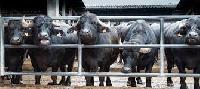 Dairy Buffalo