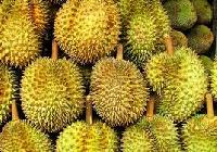 Fresh Durian Fruit
