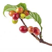 Green Coffee 50%  Chlorogenic Acid