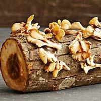 Sonoma Brown Oyster Mushroom