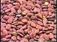 Karanj Seeds