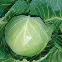 Tanu Abch-35 Hybrid Cabbage Seeds