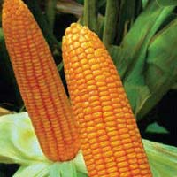 Sweety Awh-0004 Hybrid Sweet Corn Seeds