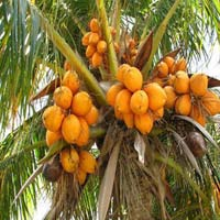 Orange Tender Coconut