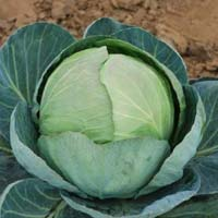 Hybrid Cabbage Seeds