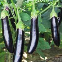 Hybrid Egg Plant Seeds