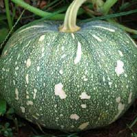 Hybrid Pumpkin Seeds