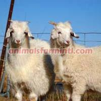 American Cashmere goat