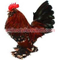 Belgian Bantam Chicken
