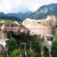 Brown Swiss cattle