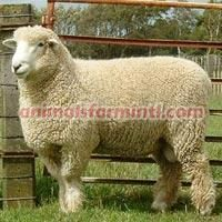 Debouillet Sheep
