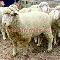 Delaine Merino Sheep