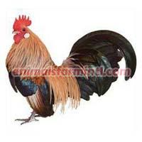 Dutch Bantam Chicken